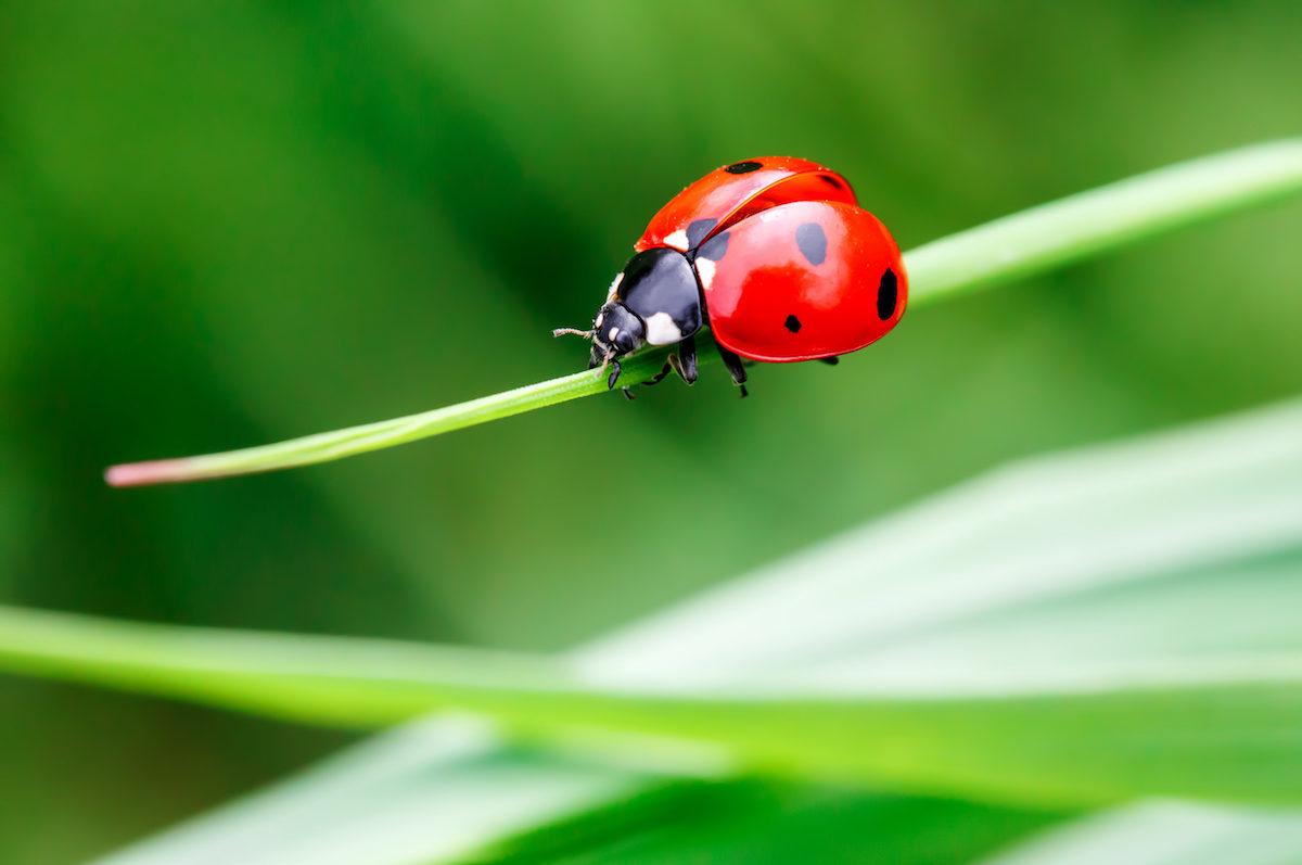 5,000 Different Species of Ladybugs - Houseman Pest