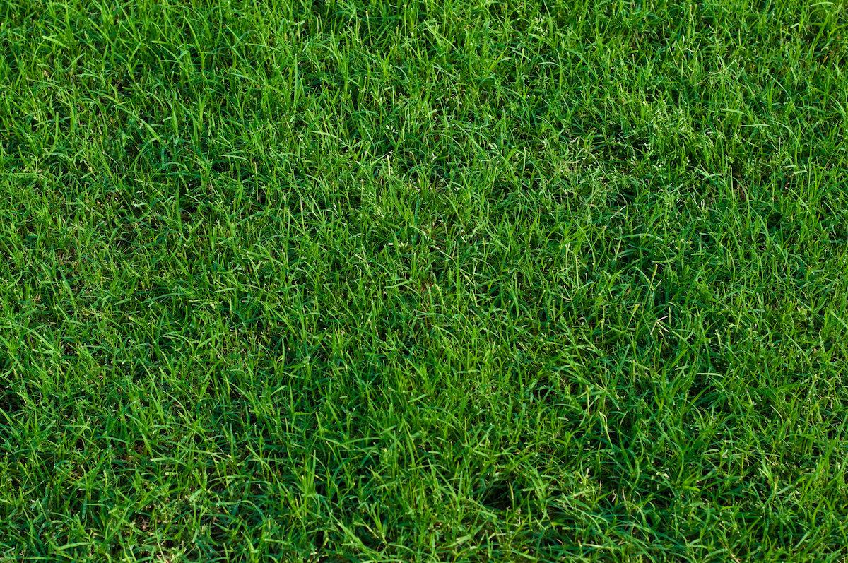 Houseman Grass Series – All about St  Augustine Grass
